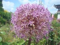 Ball flower Stock Images