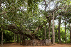 Amazing Banyan Tree in Auroville, India Stock Images