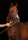Amazing bay arab horse on dark background. Amazing bay draft horse on stable door Stock Images