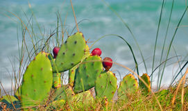 Amazing Beach Cactus with Red Blossoms Royalty Free Stock Photo
