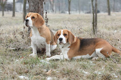 Amazing beagles in winter garden Royalty Free Stock Images
