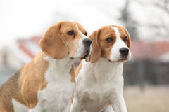 Amazing beagles in winter garden Stock Photography