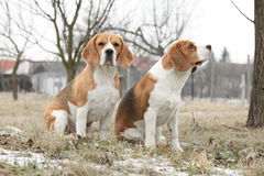 Amazing beagles in winter garden Stock Images