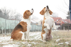 Amazing beagles in winter garden Royalty Free Stock Image