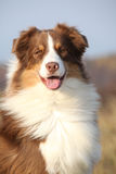 Amazing beautiful australian shepherd looking at you Royalty Free Stock Image