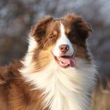 Amazing beautiful australian shepherd looking at you Stock Photography