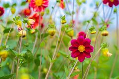 Amazing beautiful bokeh background with bright purple dahlia flowers. A colorful floral garden. Amazing beautiful bokeh background with bright purple dahlia Royalty Free Stock Photos