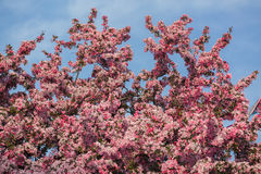 Amazing beautiful fresh apple tree blooming flowers against blue sky background Stock Images