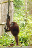 Amazing beautiful funny wild free orangutan Sepilok jungle, Sabah, Borneo Royalty Free Stock Image