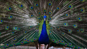 Amazing and beautiful peacock fan its tail Royalty Free Stock Images