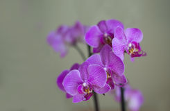 Amazing beautiful purple orchid flowers. Lovely purple orchid flowers close up, on a monotonous background of light green and beige color, perfect for a postcard Stock Photos