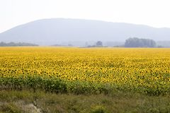 Sunflower field. Amazing and beautiful sunflower field in the warm summer day, the mountain behind the sunflower field stock images