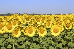 Sunflower field. Amazing and beautiful sunflower field in the warm summer day stock photography