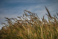 Amazing and beautiful wallpaper and background with blurry reed grass flower out of focus, flowering grass plant. Romantic and bucolic setting, golden pastoral Royalty Free Stock Photography