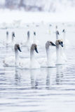 Amazing beautiful winter picture of swans Stock Photos