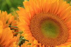 Amazing beauty in the face of a sunflower Royalty Free Stock Photo