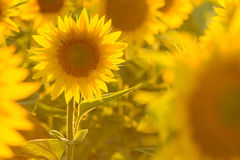 Amazing beauty of golden sunlight on sunflower petals. Beautiful view on field of sunflowers at sunset. Amazing beauty of sunlight on sunflower petals. Beautiful Stock Images