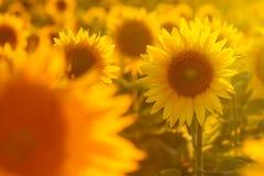 Amazing beauty of golden sunlight on sunflower petals. Beautiful view on field of sunflowers at sunset. Amazing beauty of sunlight on sunflower petals. Beautiful Stock Photo