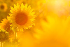 Amazing beauty of sunflower field with bright sunlight on flower Royalty Free Stock Photos