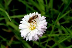 Amazing bee on blooming white flower royalty free stock image