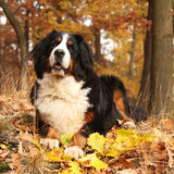 Amazing bernese mountain dog lying in autumn forest Stock Photography