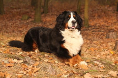 Amazing bernese mountain dog lying in autumn forest Stock Image