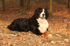 Amazing bernese mountain dog lying in autumn forest Stock Photo