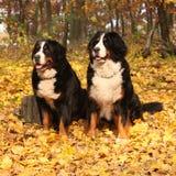 Amazing bernese mountain dog sitting together
