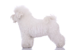 Amazing bichon frise. Standing on a white background - side view Stock Photo