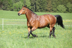 Amazing and big brown horse running