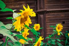 Bright sunflowers in juicy green. Amazing big flowers with a shiny, juicy color in small garden around a wooden house. The splat of sunfine in summerdays stock images