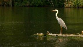 Amazing big heron standing on the island on the lake during rain. stock footage