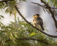 Shine and Smile on the tree. Amazing Bird dipping in the sun early morning. Found onthe tree Royalty Free Stock Image