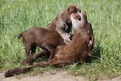 Amazing bitch playing with its puppies Royalty Free Stock Images
