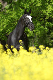 Amazing black dutch warmblood with yellow flowers Stock Images