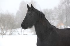 Amazing friesian mare in winter royalty free stock photos