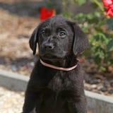 Amazing black labrador puppy