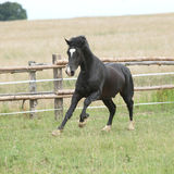 Amazing black stallion running on pasturage Royalty Free Stock Photos