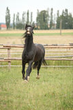 Amazing black stallion running on pasturage Royalty Free Stock Images