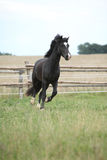 Amazing black stallion running on pasturage Royalty Free Stock Photo