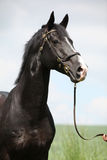 Amazing black stallion of welsh part-bred. Portrait of amazing black stallion of welsh part-bred Royalty Free Stock Image