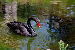 Amazing black swan looking at its reflection Royalty Free Stock Photos