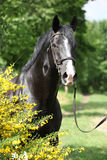 Amazing black welsh part-bred stallion with flowers. Portrait of amazing black welsh part-bred stallion with flowers Royalty Free Stock Photos
