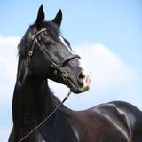 Amazing black welsh part-bred stallion Stock Images