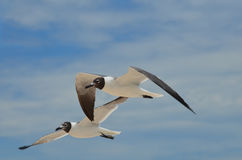 Amazing Black and White Laughing Gulls in Flight Royalty Free Stock Images
