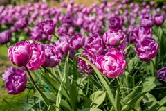 Beautiful Dutch flowers royalty free stock photography