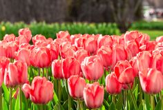 Amazing blooming tulips 4. Amazing blooming tulips in the spring city park. City of Morges, Switzerland Royalty Free Stock Photo