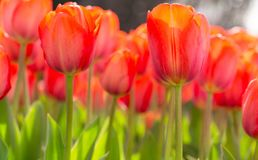 Amazing blooming tulips 3. Amazing blooming tulips in the spring city park. City of Morges, Switzerland Stock Photos