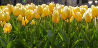 Amazing blooming tulips 10. Amazing blooming tulips in the spring city park. City of Morges, Switzerland Stock Photo