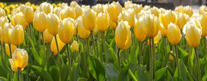 Amazing blooming tulips 9. Amazing blooming tulips in the spring city park. City of Morges, Switzerland Stock Photography